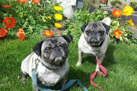 Poppy Pugs – Gracie & Theo