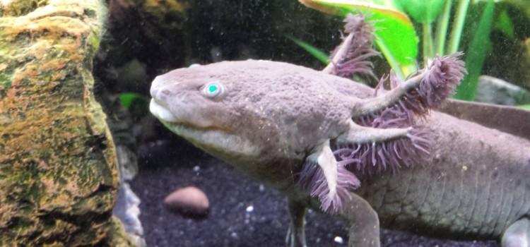 Humbow's Blue Eye