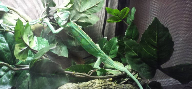 Meeno the Veiled Chameleon